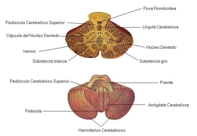 Estructura Dianamoralescarbarin