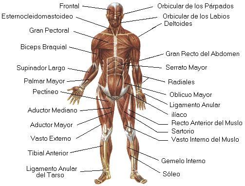 http://www.proyectosalonhogar.com/cuerpohumano/sistema_muscular.jpg